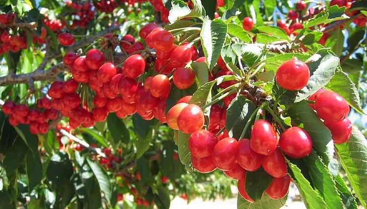 Ambers U-Pick Cherry Farm Leona Valley Day Trip