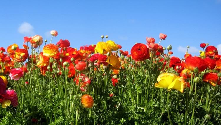 Carlsbad Flower Fields Day Trip