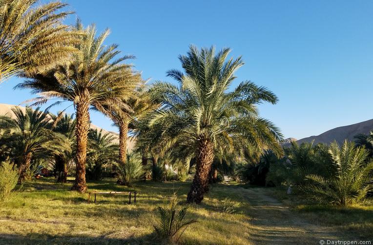 China Ranch Date Farm Date Palms