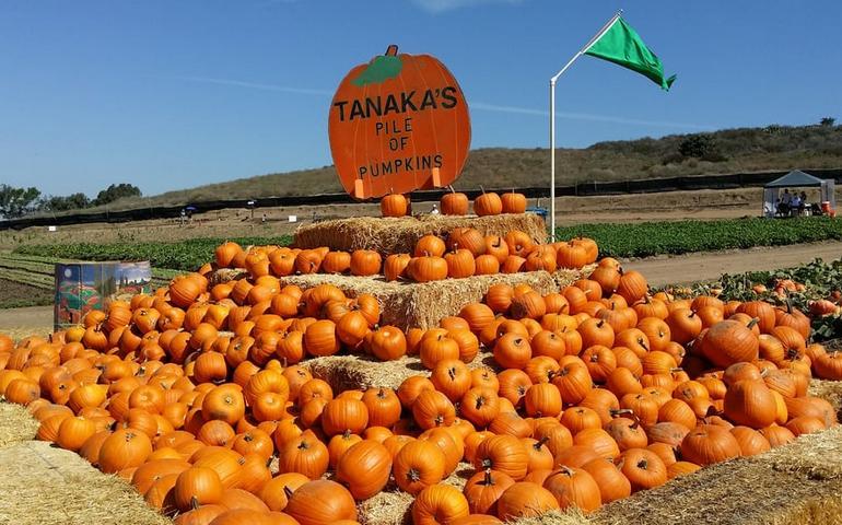 Tanaka Farms Irvine Pumpkin Patch