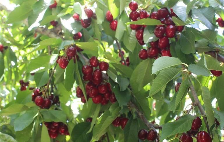 Cherry Picking Leona Valley California