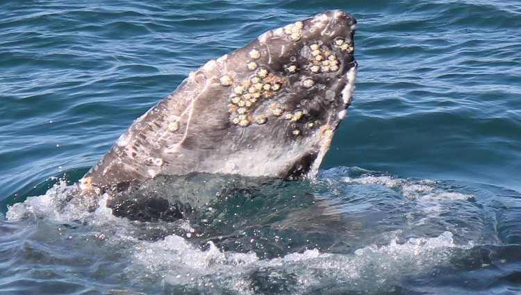 Condor Express Whale Watching Trips Santa Barbara