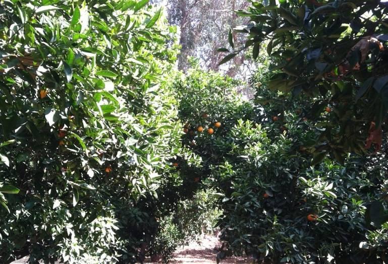 Heritage Park La Verne U-Pick Orange Grove
