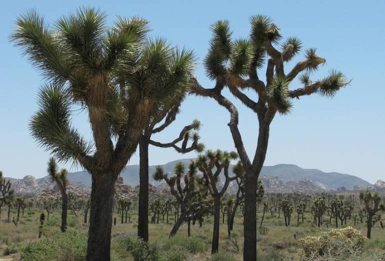 Joshua tree Mojave National Preserve