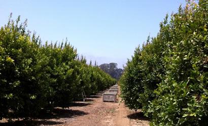 Lemon Grove Limoneira Ranch