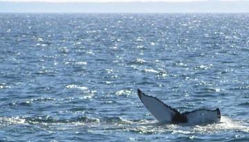 Seaforth Sportfishing Whale Watching