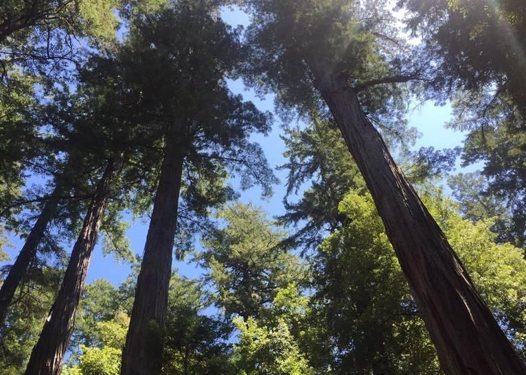Basin Redwoods State Park Redwood Trees