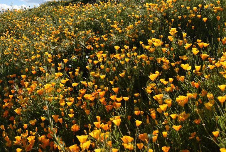 Wildflowers Diamond Valley Lake