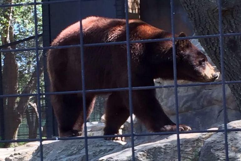 Folsom City Zoo Black Bear