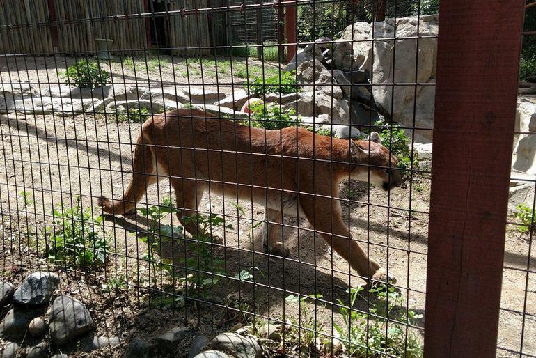 Folsom City Zoo Mountain Lion