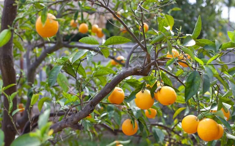 Heritage Park La Verne U-Pick Oranges