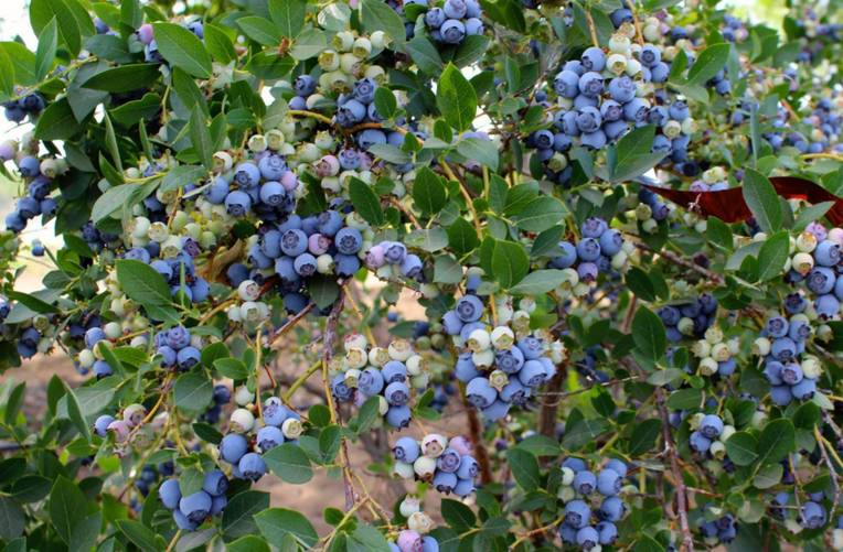 Jessop Farms U-Pick Berries