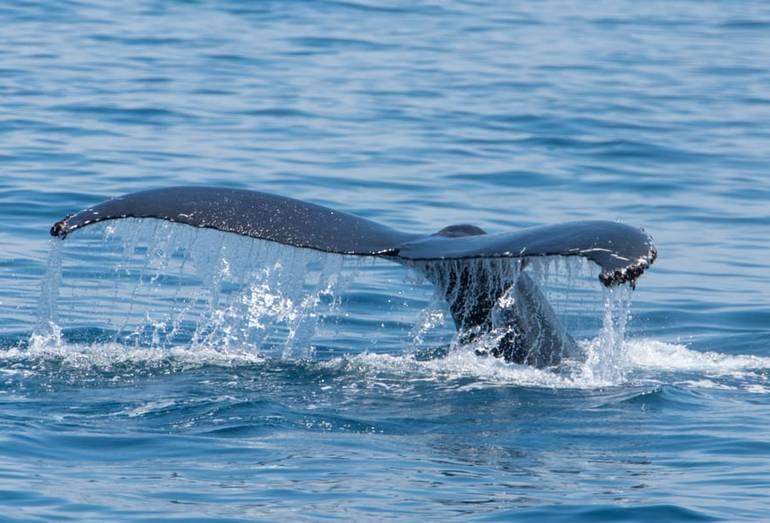 Humpback Whale near Channel Islands California